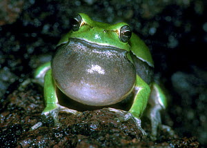 Common tree frog calling, vocal sac inflated, Italy. - Hans Christoph Kappel