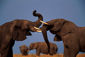 Two African elephant bulls establish dominance with ritual trial of strength Masai Mara NR Kenya  -  Anup Shah