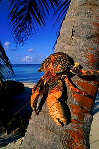 Coconut (Robber) crab climbing coconut tree, Aldabra Seychelles  -  Pete Oxford