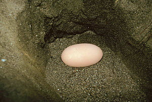 Maleo fowl egg in nest {Macrocephalon maleo} Sulawesi, Indonesia  -  JIM CLARE