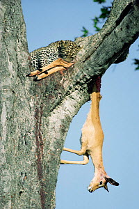 Leopard with Impala prey in tree {Panthera pardus} Kenya - Keith Scholey