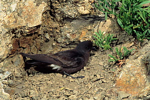 British storm petrel, Spain.  -  Jose Luis Gomez de Francisco