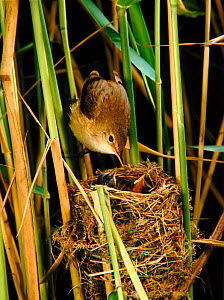 Reedwarbler (Acrocephalus scirpaceus) feeding chicks. Somerset levels, England, UK - Jim Hallett