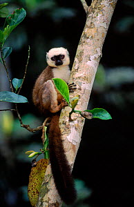 White fronted brown lemur male in tree, Nosy Mangabe, Madagascar  -  Pete Oxford