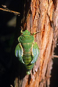 Greengrocer cicada pumping wings after emerging from nymph case (Cyclochila australasiae) Australia - Steven David Miller
