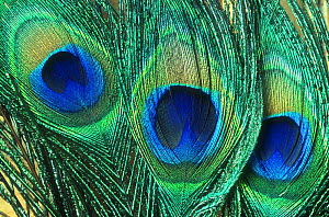 Close up of common Peafowl feathers {Pavo cristatus}  -  Larry Michael