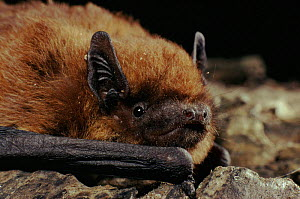 Pipistrelle bat head portrait, Scotland, Europe, UK  -  Duncan Mcewan