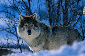 Grey wolf male in snow {Canis lupus} captive Norway  -  Bernard Walton