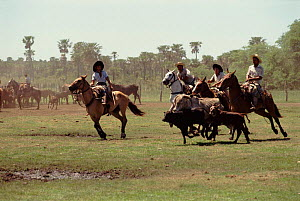 Guachos rounding up cattle, Ibera marshes NR, Argentina  -  Ross Couper-Johnston