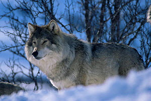 Male European wolf (Canis lupus) in snow, Arctic Norway. Captive  -  Bernard Walton