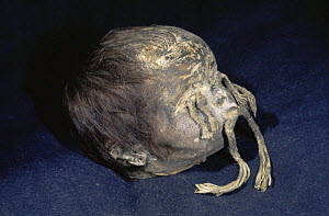Tsansa shrunken head, Shuar, Indian Ecuador. South America Jivaro Shuar tribe used to shrink head of enemies killed in battle - first they removed the skull and boiled it to shrink the head.  Then th...  -  Pete Oxford