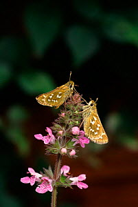 Silver spotted skipper butterflies, England - George McCarthy