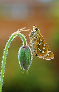 Silver spotted skipper butterfly, Surrey, England  -  George McCarthy