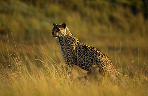 Leopard {Panthera pardus} 'Half Tail' on location for Big Cat Diary, Masai Mara NR, Kenya - Keith Scholey