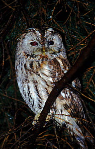 Tawny Owl, Germany  -  Christoph Becker