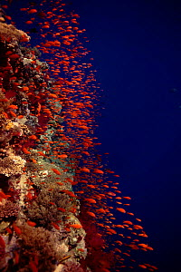 Coral reef scenery with Anthias (Pseudanthias squamipinnis). Eygpt, Red Sea, Middle East  -  Peter Scoones