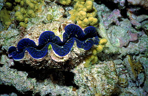 Tridachna giant clam, on coral reef in shallow lagoon, Great Barrier Reef, Australia  -  Steven David Miller
