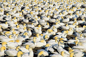 Northern gannet nesting colony {Morus bassanus}  St Lawrence Gulf, Canada  -  Louis Gagnon