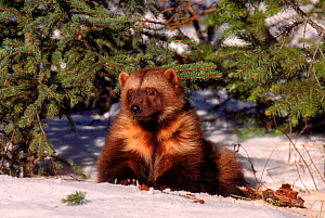 RF- Wolverine (Gulo gulo) on snow, captive. (This image may be licensed either as rights managed or royalty free.)  -  Lynn M Stone