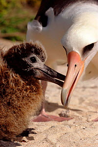 Laysan albatross feeding chick {Diomedea immutabalis} Midway Atoll, Pacific Ocean  -  Michael Pitts