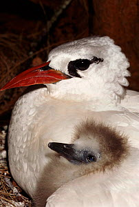 Red tailed tropic bird with chick, Midway Atoll, Pacific Ocean - Michael Pitts