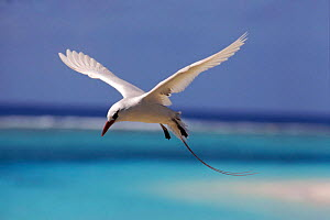 Red tailed tropic bird flying, Midway Atoll, Pacific Ocean - Michael Pitts