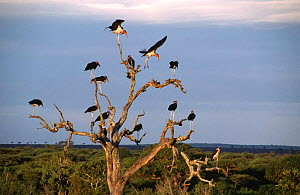 Marabou storks {Leptoptilos crumeniferus} preparing to roost in tree for the night, Africa - Ron O'Connor