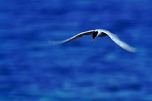 Adult Common tern in flight (Sterna hirundo). Quebec, Canada  -  Louis Gagnon