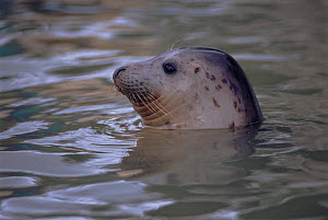 RF- Grey seal juvenile in water (Halichoerus grypus), head portrait, captive. Seal Sanctuary, Cornwall, England. (This image may be licensed either as rights managed or royalty free.)  -  Colin Seddon