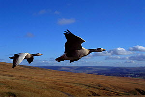 Bar headed geese flying {Anser indicus} imprinted birds.   Not available for ringtone/wallpaper use.  -  John Downer