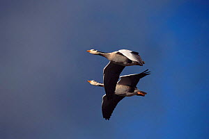 Bar headed geese flying, photographed during filming of 'Supernatural'  -  John Downer