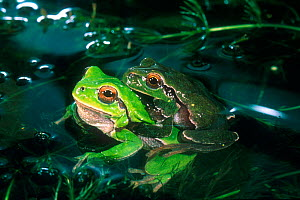 Common tree frog {Hyla arborea} pair in amplexus Italy  -  Fabio Liverani