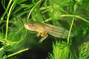 Common tree froglet {Hyla arborea} tadpole with front and back legs, Italy  -  Fabio Liverani