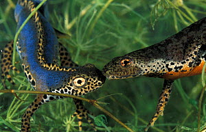 Alpine newt pair {Triturus alpestris} male on left with crest, Italy  -  Fabio Liverani