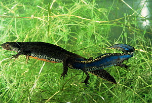 Alpine newt courting pair {Triturus alpestris} male on right, Italy  -  Fabio Liverani