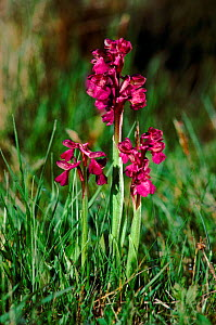 Green winged orchid (Anacamptis morio). Sweden, Europe  -  Christoph Becker