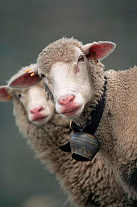 White faced Domestic sheep {Ovis aries} wearing collar with bell, Switzerland, Europe - John Cancalosi