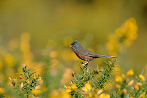 Dartford warbler male on gorse bush {Sylvia undata} heathland, Hampshire, England, UK  -  David Kjaer