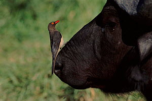 Red billed oxpecker on Buffalo head, Kruger NP South Africa - Richard Du Toit