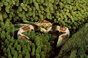 Porcelain crab amongst anemone tentacles, Solomon Islands, Pacific - Constantinos Petrinos