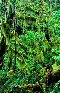 Hanging mosses on Mountain beech Temperate rainforest  South Island New Zealand  -  Tim Edwards