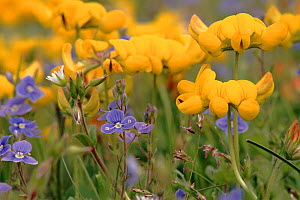 Birds foot trefoil and Germander speedwell {Veronica chamaedrus}, St Cyrus Nature Reserve, Scotland  -  Brian Lightfoot