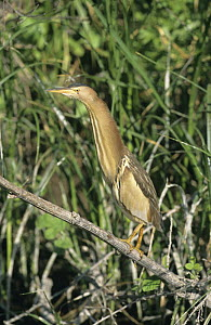 Little bittern {Ixobrychus minutus} female at water's edge, Lesbos, Greece  -  David Kjaer