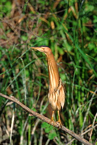 Little bittern (Ixobrychus minutus) female. Greece, Europe  -  David Kjaer
