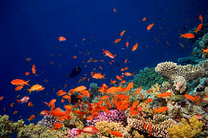 Coral reef scenery with orange Scalefin anthias fish {Pseudanthias squamipinnis} Red Sea, Eygpt  -  Georgette Douwma