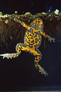 Yellow bellied toad {Bombina variegata} view of underside in water, Italy  -  Fabio Liverani
