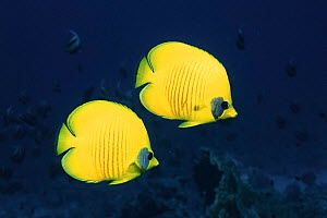 Two Golden / Masked  butterflyfish, Red Sea, Eygpt  -  Georgette Douwma
