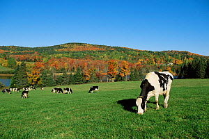 Domestic Holstein cattle / cows grazing Vermont USA  -  Lynn M Stone