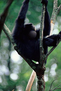 Siamang gibbon male calling, pouch inflated  -  Anup Shah