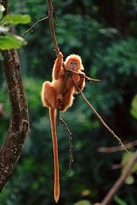 Ebony langur climbing {Trachypithecus auratus} Endangered species native to Java, Indonesia  -  Anup Shah
